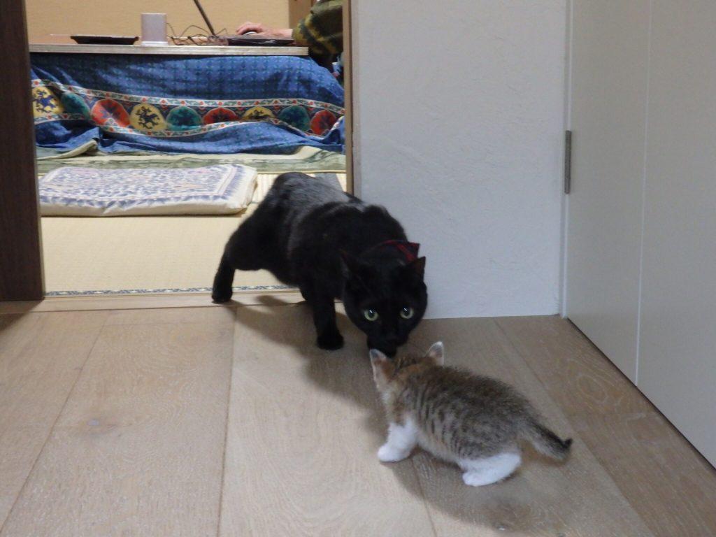 猫 テトコ ネグロ