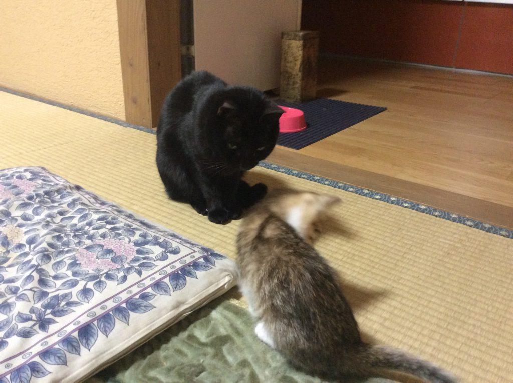 ネグロ テトコ猫