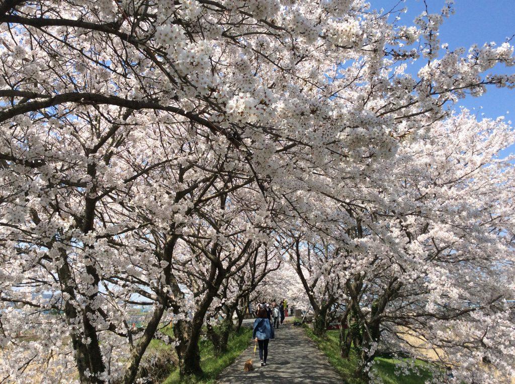 流川桜並木