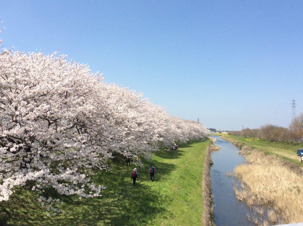 桜並木 流川