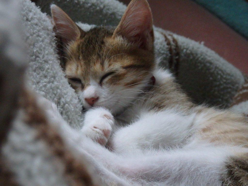 キジシロ猫テトコ