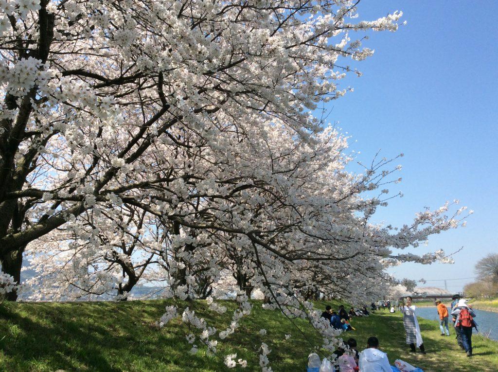 流川 桜並木