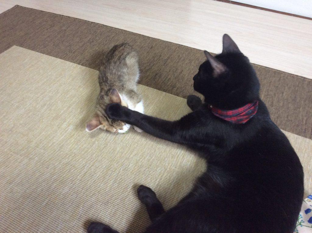 黒猫 キジシロ猫